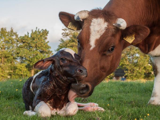 ma cow